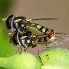 Simosyrphus grandicornis