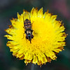 Melangyna viridiceps - Common Hoverfly