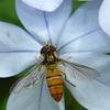 Episyrphus viridaureus