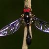 Ocyptamus sp.