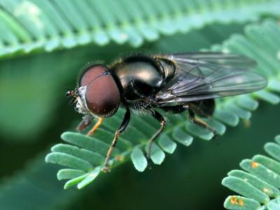 Unplaced Syrphidae