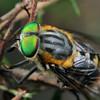 Scaptia auriflua (female)