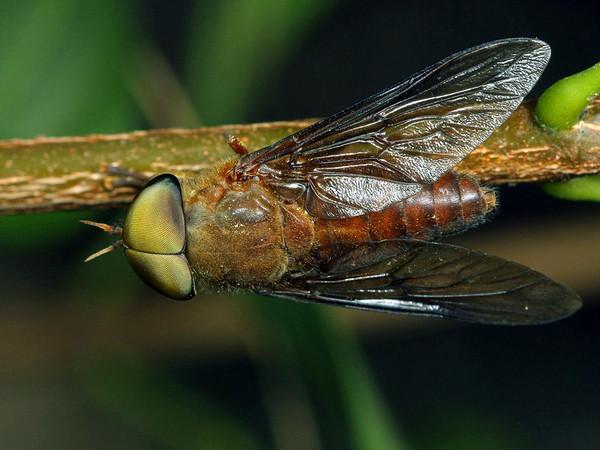 Cydistomyia sp.