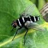 Trigonospila brevifacies - Australian Leafroller Fly