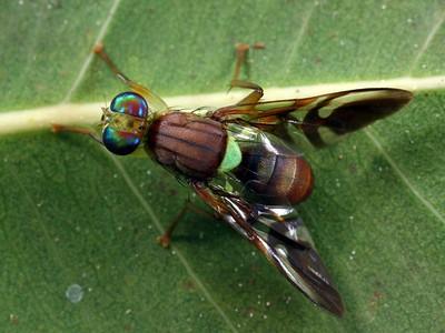 Tephritidae - Fruit Flies