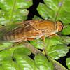 Anabarhynchus sp.