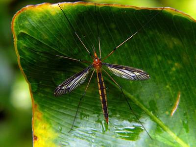 Tipulidae - Crane Flies