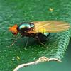 Unknown sp. (Lauxaniidae?)