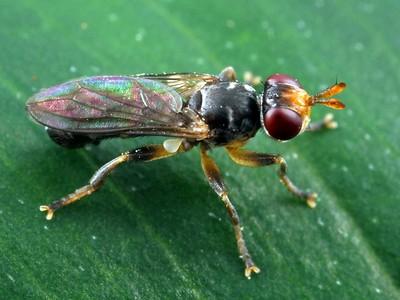 Unplaced Flies (Diptera)