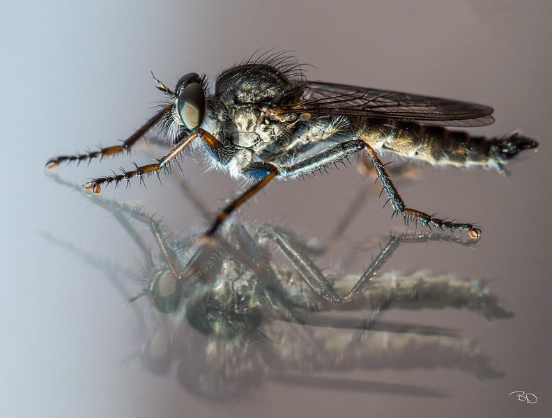 Rovflue (Asilidae)