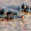 Green bottle flies (Lucilia sericata)