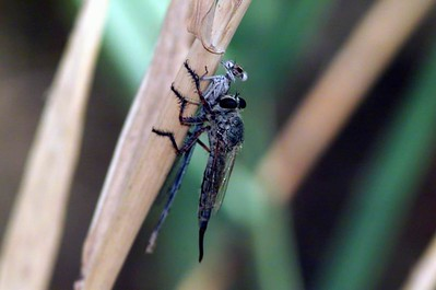 Robber Fly with damselfly
