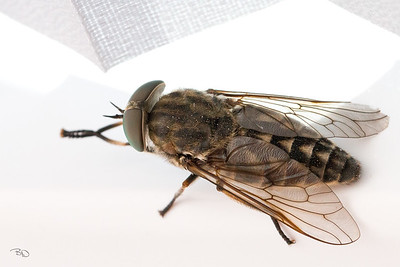 Okseklæg-hun (Tabanus bovinus)