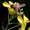 Have-Dyndflue (Eristalis lineata)