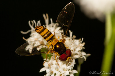 Syrphid Hover Fly