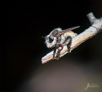 Robber Fly Mallophora fautrix