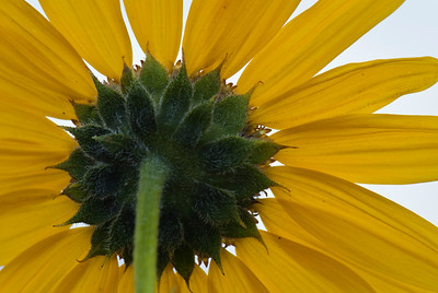 Yellow Flower Antelope Island  Salt Lake City, Utah © 2010