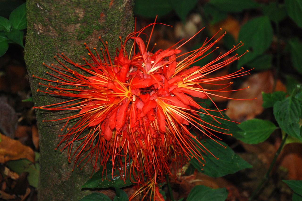 Hawaiian Flower Oahu, Hawaii © 2008