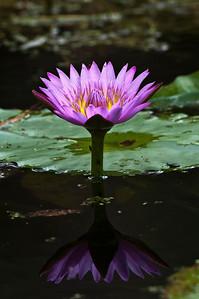 Water Lily Bloom Riverbend Park Jupiter, Florida © 2013