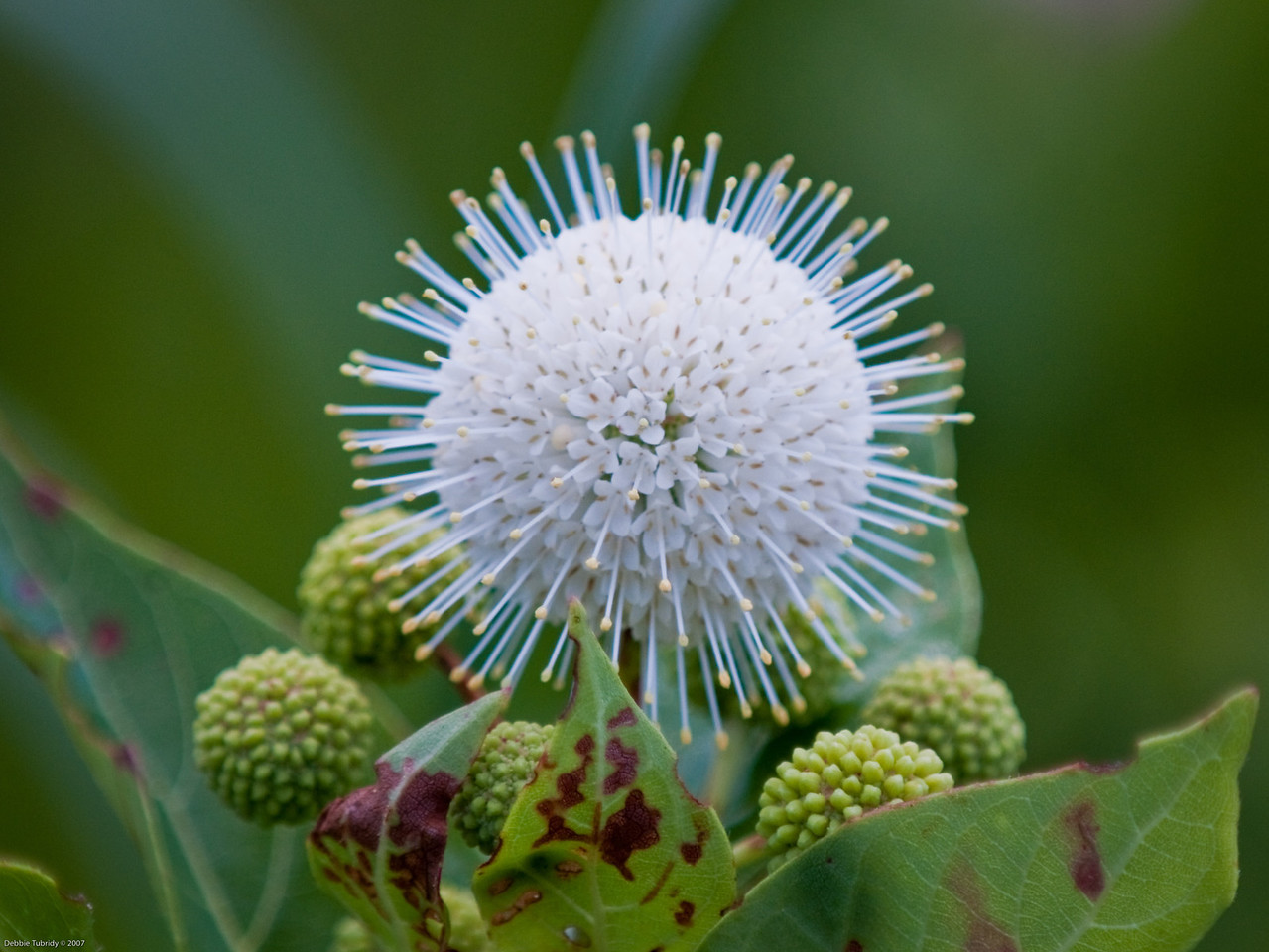 Buttonbrush Flower Loxahatchee NWR Florida  © 2009