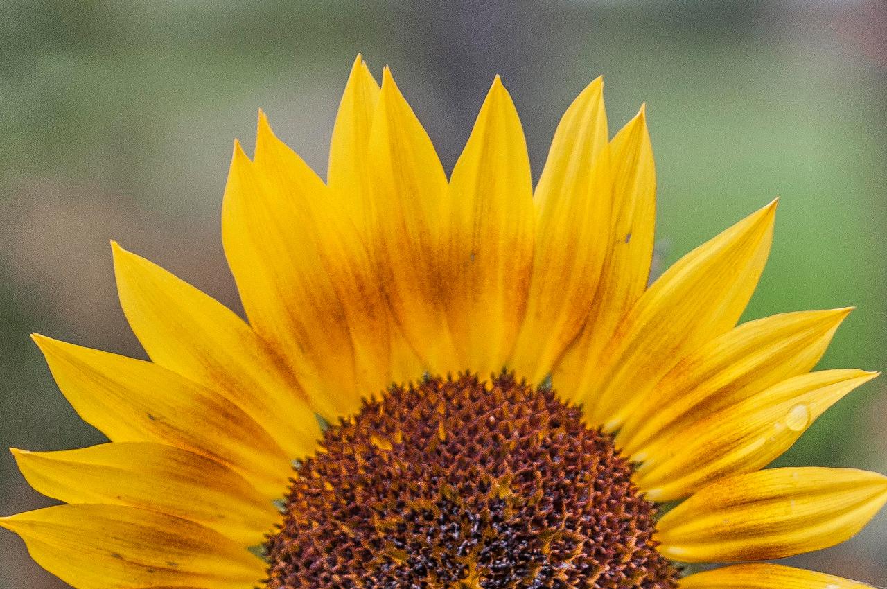 Sunflower Kissed By the Rain Creamer's Field Fairbanks, Alaska © 2013