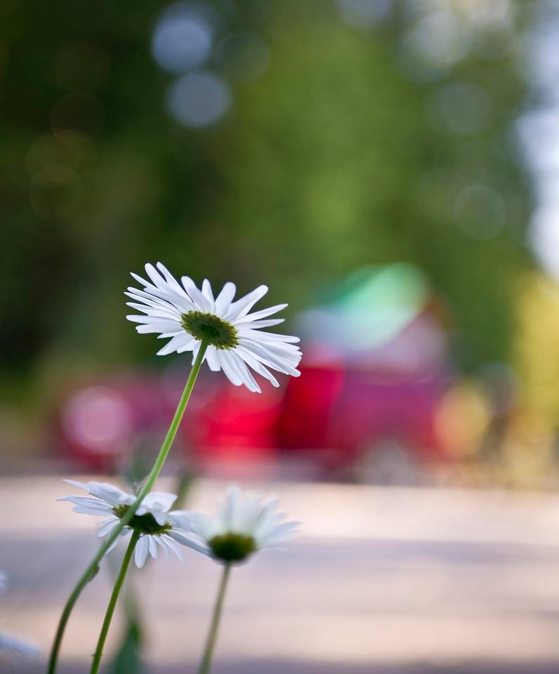 A New Beginning Wildflower Bokeh British Columbia, Canada © 2011