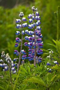 Alaskan Lupine Wildflowers Homer, Alaska © 2010