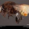 Orchid bee (Apidae, Eulaema meriana (Olivier))
