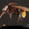 Orchid bee (Apidae, Eulaema nigrifacies (Friese))