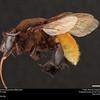 Orchid bee (Apidae, Eulaema polychroma (Mocsáry))