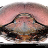 Dung beetle (Scarabaeidae, Kheper subanaeus)