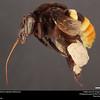 Orchid bee (Apidae, Eulaema cingulata (Fabricius))