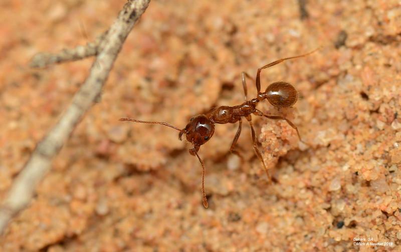 Aphaenogaster barbigula