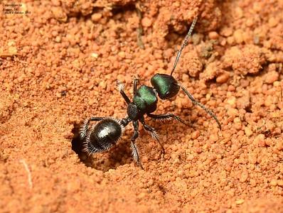 Calomyrmex purpureus smaragdina