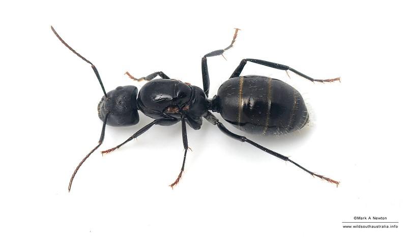 Camponotus aeneopilosus  queen