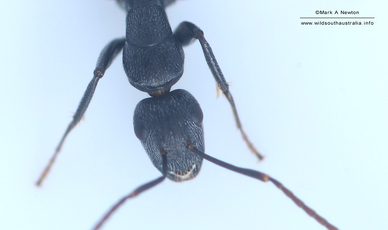 Camponotus aeneopilosus