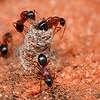 Camponotus armstrongi