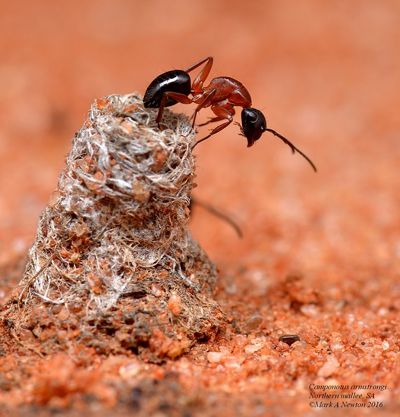 Camponotus armstrongi   (minor worker)
