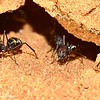 Camponotus aurocinctus