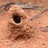 Camponotus capito ebeninithorax  mound