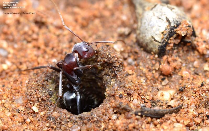 Camponotus capito ebeninithorax  -  minor worker