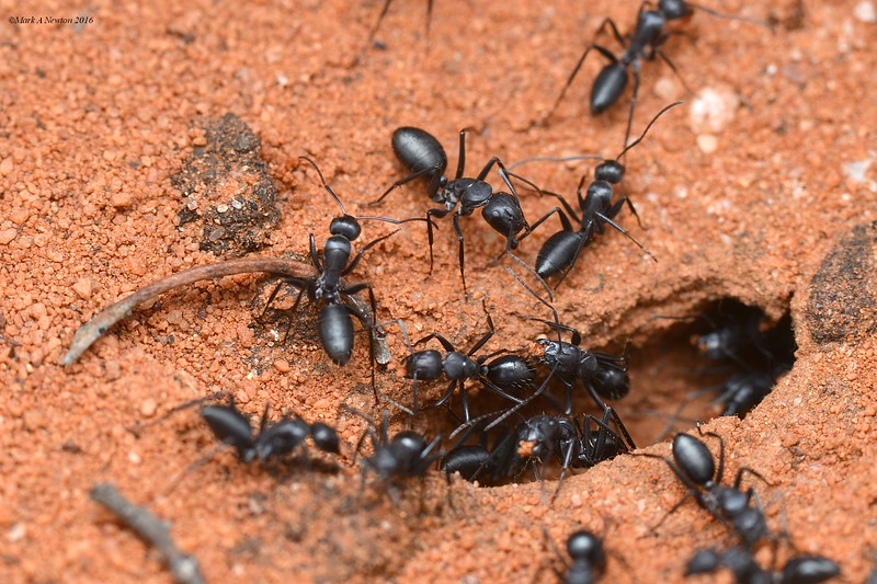 Camponotus cinereus amperei - at the nest entrance