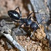 Camponotus cinereus amperei  removing soil from the nest.