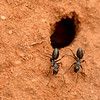 Camponotus cinereus amperei