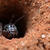 Camponotus ephippum narses