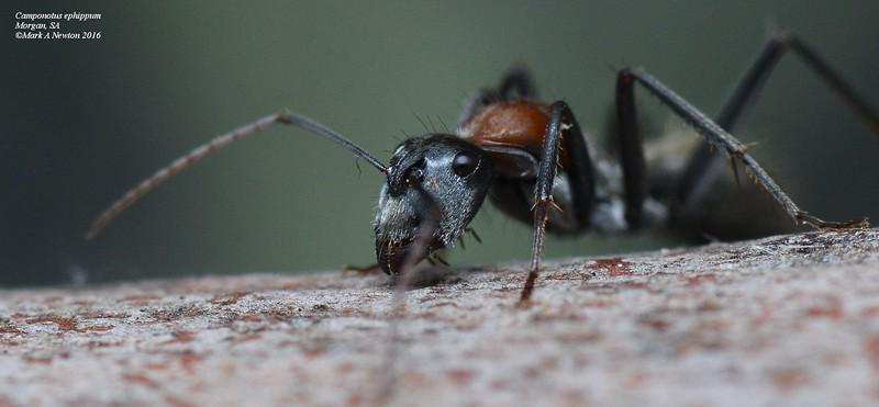 Camponotus ephippum