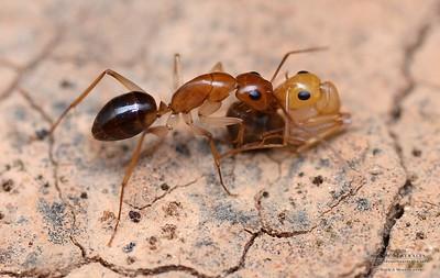 Camponotus gibbinotus