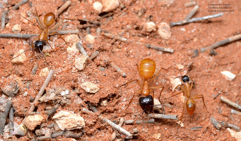 Camponotus loweryi (major and minor workers)