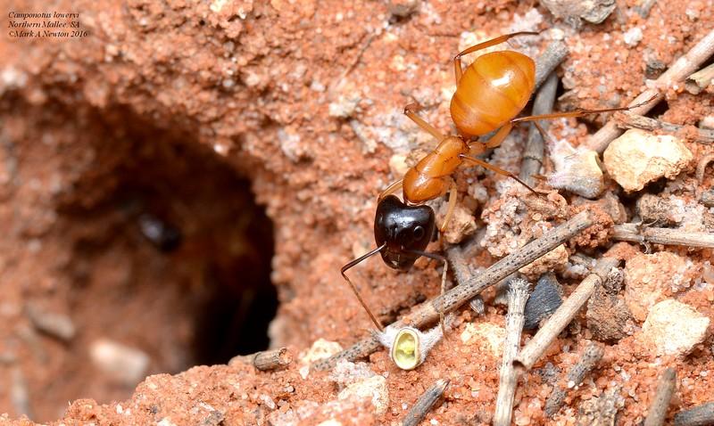 Camponotus loweryi (major worker)