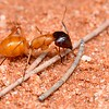 Camponotus loweryi (major worker)
